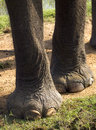 Closeup of feet of an elephant in the national park Royalty Free Stock Images