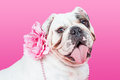 Closeup Female English Bulldog Flower Collar Royalty Free Stock Photo