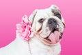 Closeup Female English Bulldog Flower Collar Royalty Free Stock Photo