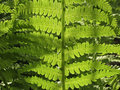 Closeup of Fern, back light Royalty Free Stock Photo