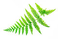 Closeup fern leaf Royalty Free Stock Photo