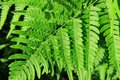Closeup of fern leaves backlit by the sun Royalty Free Stock Photo