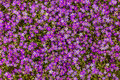 Closeup of field flowers blooming in Morocco Royalty Free Stock Photo