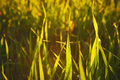 Closeup of field of young grain in a sunset back light