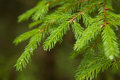 Closeup fir branches with raindrops, blurred background Royalty Free Stock Photo