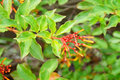 Closeup of firebush shrub in florida hamelia patens has to be one the easiest and also most attractive native plants for a Royalty Free Stock Images