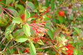 Closeup of firebush shrub in florida hamelia patens has to be one the easiest and also most attractive native plants for a Stock Photos