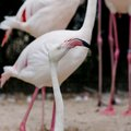 Closeup of a flamingo face animal on nature background Stock Photography