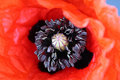 Closeup of a flower - poppy Royalty Free Stock Photo