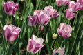 Closeup of flowerbed with purple and white tulips Stock Photos