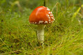 Closeup of fly agaric Royalty Free Stock Photo