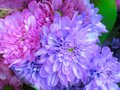 Closeup Fresh Bright Pretty Blue And Pink Dahlia Flowers Bouquet Royalty Free Stock Photo