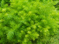 Closeup fresh green bush of shatavari asparagus r racemosus willd Stock Photos