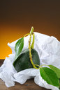 Closeup fresh picked avocado stem leaf white tissue paper vertical format light to dark warm background Stock Photo