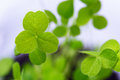 Closeup of fresh sprouts of grass clover. The symbol of the holi Royalty Free Stock Photo