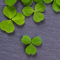 Closeup of fresh sprouts of grass clover. Symbol of the holiday Royalty Free Stock Photo