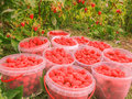 Closeup of freshly picked raspberries in plastic boxes on raspberry's bush background, horizontal photo, photo took in the vicinit Royalty Free Stock Photo
