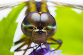 Closeup front face dragonfly bug animal blur background Royalty Free Stock Photo