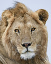 Closeup frontview of a lion head with eyes open and mouth closed Royalty Free Stock Photo