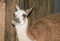 Closeup of funny llama Royalty Free Stock Photo
