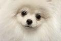 Closeup Furry Cute White Pomer...