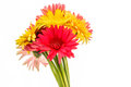 Closeup gerbera flower , white background Royalty Free Stock Photo