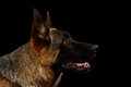 Closeup German Shepherd in Profile on Black Royalty Free Stock Photo