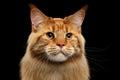 Closeup Ginger Maine Coon Cat ...