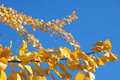 Closeup of ginkgo tree branches in autumn biloba golden colors Stock Photos