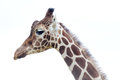Closeup giraffe long neck head Royalty Free Stock Photos