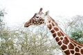 Closeup giraffe profile head long neck Stock Images