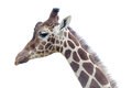 Closeup giraffe profile head neck Stock Photos