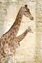 Closeup of giraffes