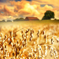 Closeup of golden oat ears Royalty Free Stock Photo