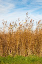 Closeup of golden reed in autumn Stock Photo