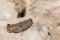 Closeup of a grasshopper resting on rock Royalty Free Stock Photo
