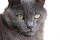 Closeup of gray cat with green eyes whole background Stock Photos