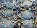 stock image of  Blue crabs displayed for sale. Close-up view of shellfish, the day& x27;s catch of seafood on ice.