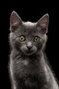 Closeup gray kitty looking in camera on black background Stock Photo