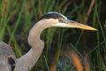Closeup of Great Blue Heron Stock Photo