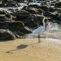 Great Egret and His Shadow Royalty Free Stock Photo