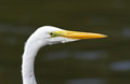 Closeup of Great Egret Royalty Free Stock Photo