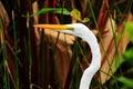 Closeup great white egret Royalty Free Stock Photo