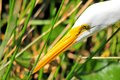 Closeup of a great white egret Royalty Free Stock Photo