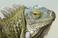 Closeup of Greeen Iguana Royalty Free Stock Photo