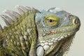 Closeup of Greeen Iguana Royalty Free Stock Photo