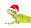 Closeup green agama  in red christmas hat. isolated on white Royalty Free Stock Photo