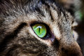 Closeup green eye of Maine Coon black tabby cat . Royalty Free Stock Photo