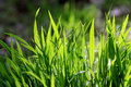 Closeup of the green grass Royalty Free Stock Image