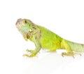 Closeup green iguana in profile. isolated on white background Royalty Free Stock Photo